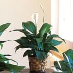 peace lily plant 150x150